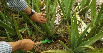 تولید انبوه این گیاه درآمدزایی خوبی دارد