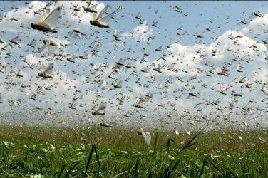 تلاش شبانهروزی هزار نفر برای جلوگیری از تهاجم ملخها به مزارع و باغهای مردم