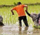 برنجی دست کشاورز نیست که سودی ببرد