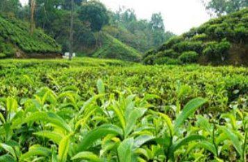 تصویب افزایش بهای برگ سبز چای