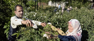 گل های محمدی گیلان افزایش می یابند