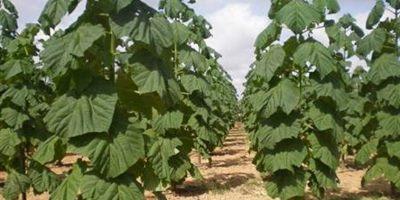 زراعت چوب در گیلان توسعه مییابد
