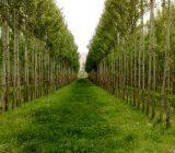 اختصاص هزار و ۵۰۰ هکتار زمین برای زراعت چوب در گیلان