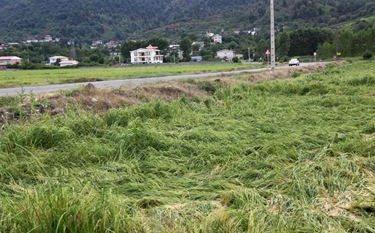کارگروه بررسی خسارت شالیزارهای گیلان تشکیل میشود