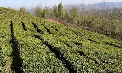 اعطای تسهیلات برای بهبود باغ و کارخانههای چای