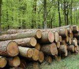 فاز سوم طرح زراعت چوب در استان گیلان اجرا میشود